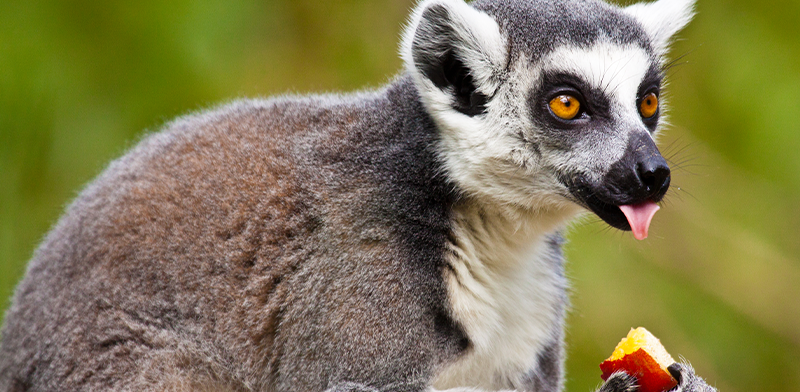 lemure_