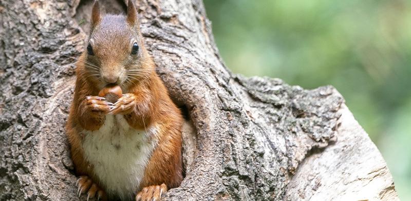 scoiattolo_